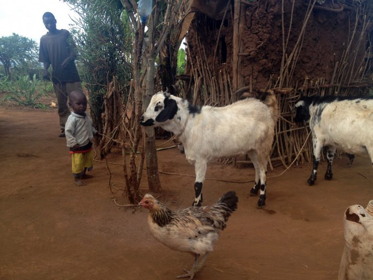 Goat giving gathers steam with benefits far past Christmas
