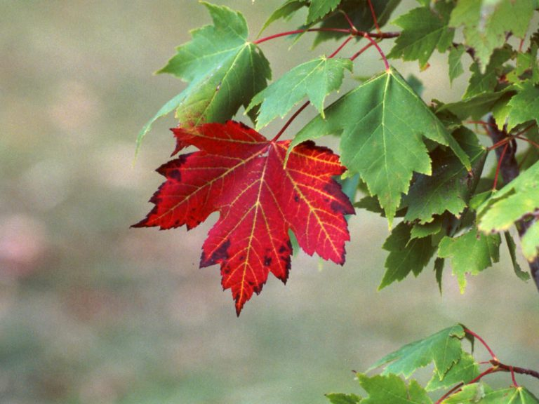Is the Maple Leaf really a maple leaf?